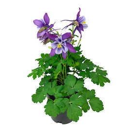 Aquilegia caerulea 'Early Bird Purple/Blue' 1 Gallon