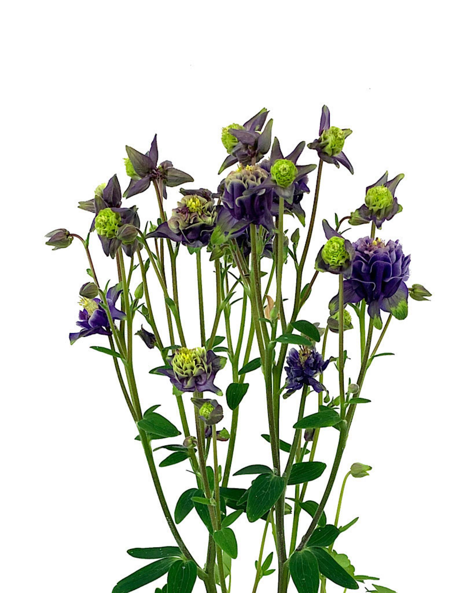 Aquilegia caerulea 'Winky Double Dark Blue and White' Quart