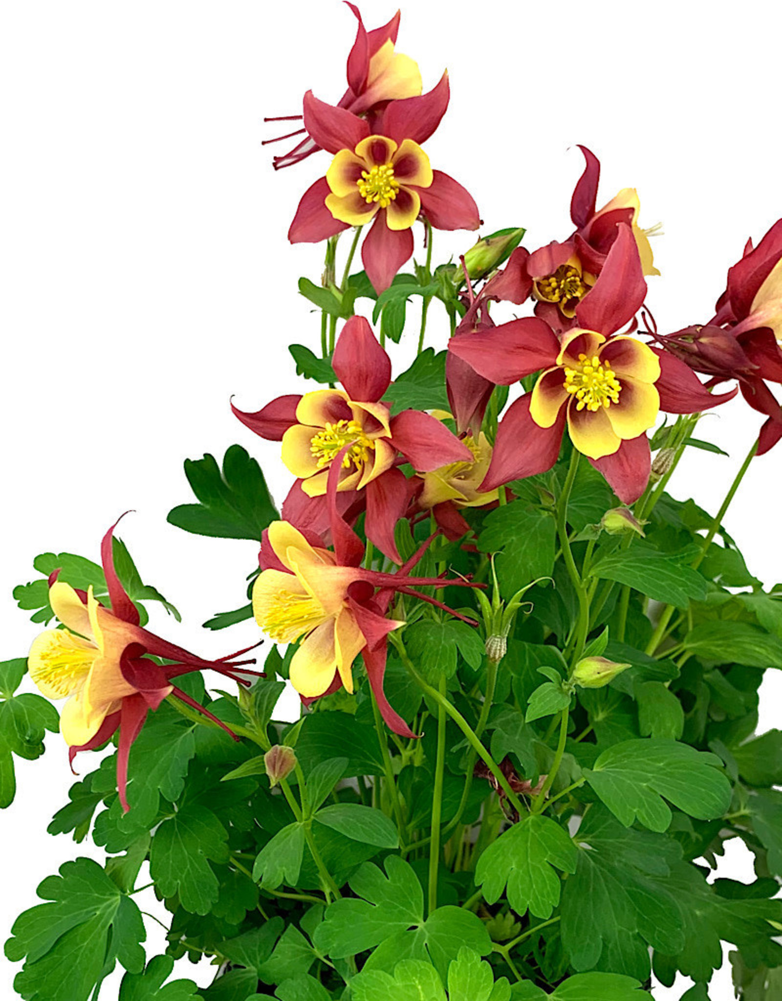 Aquilegia caerulea 'Early Bird Red/Yellow' 1 Gallon