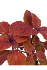 Coleus 'Redhead' 4 inch