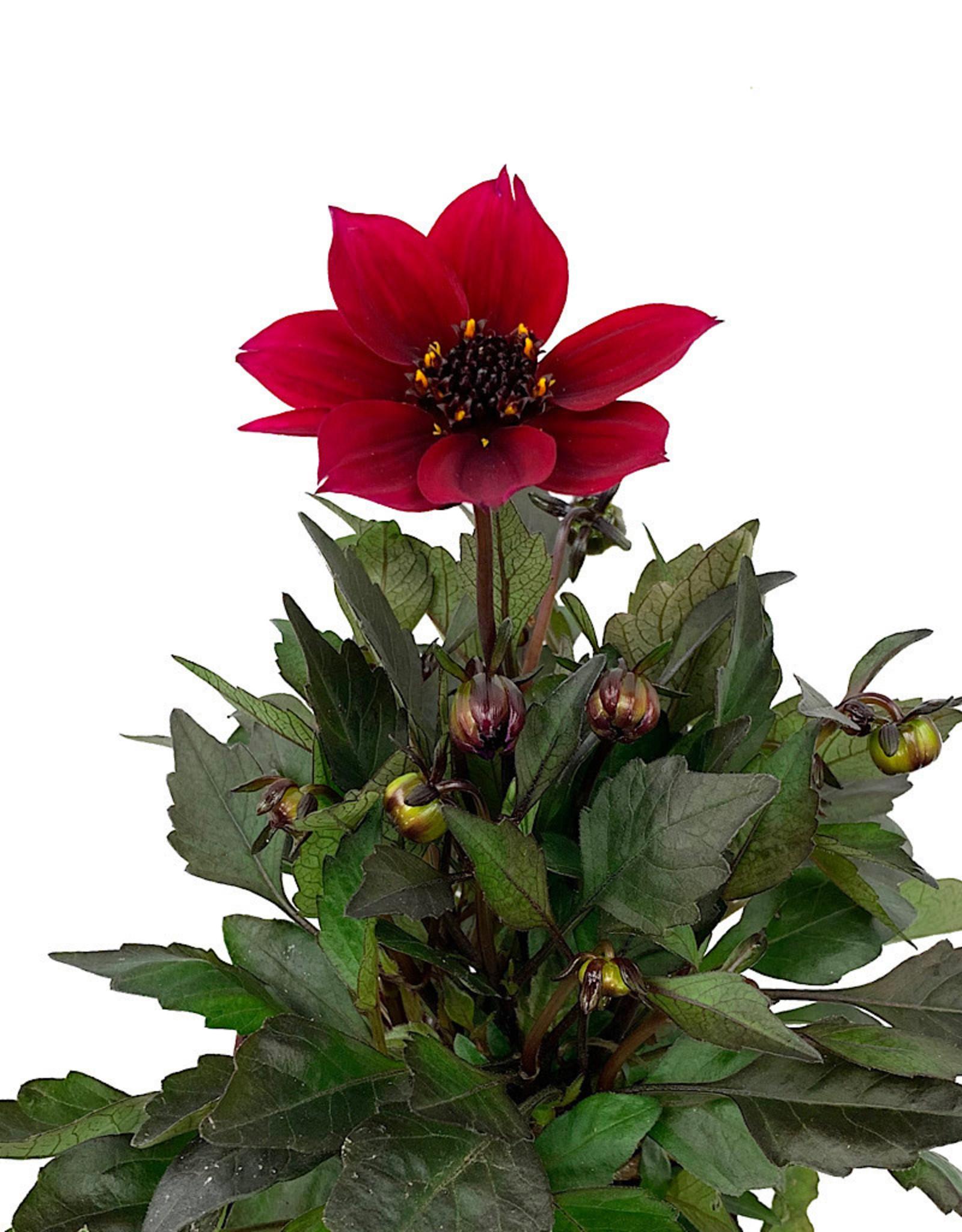 Dahlia 'Happy Days Cherry Red' Quart