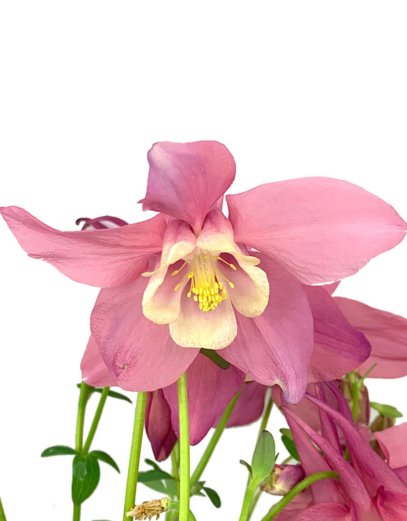 Aquilegia caerulea 'Spring Magic Rose/White' Quart