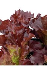 Lettuce 'Merlot' - Traypack