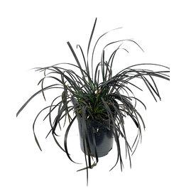 Ophiopogon planiscapus 'Nigrescens' 1 Gallon