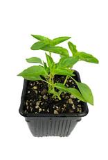 Basil 'Lemon' 4 inch