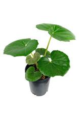 Farfugium japonicum 'Gigantea' 1 Gallon