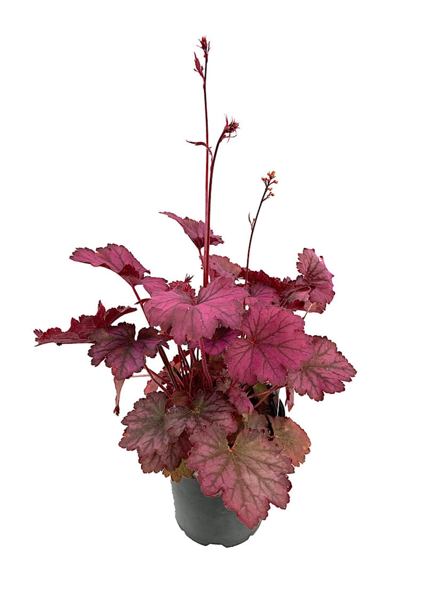 Heuchera 'Carnival Rose Granita'