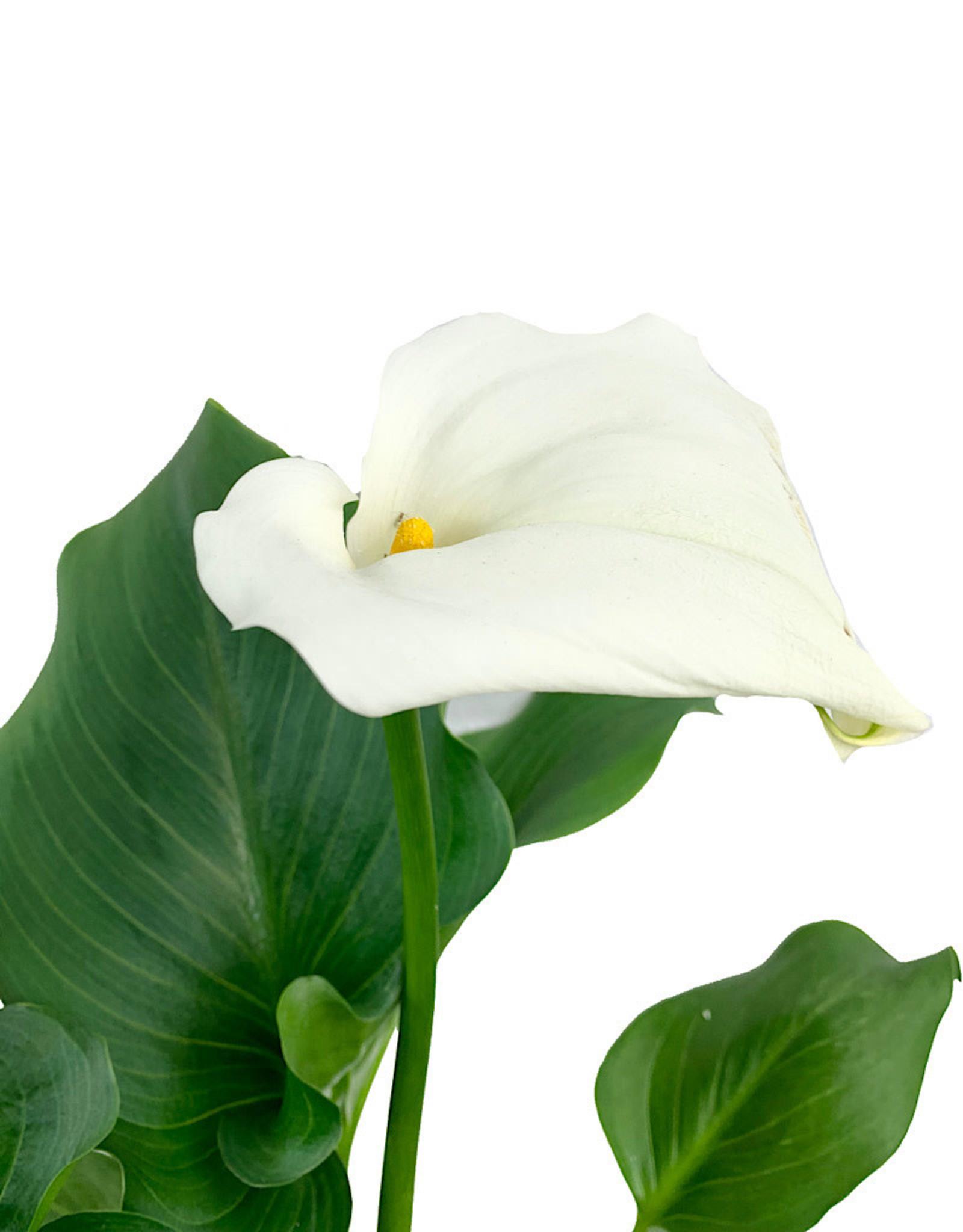 Zantendeschia a. 'White Giant' 1 Gallon