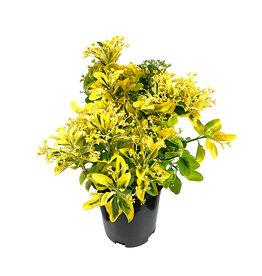 Euonymus japonicus 'Aureo-Marginatus' 1 Gallon