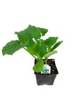 Squash 'Zucchini' 4 Inch
