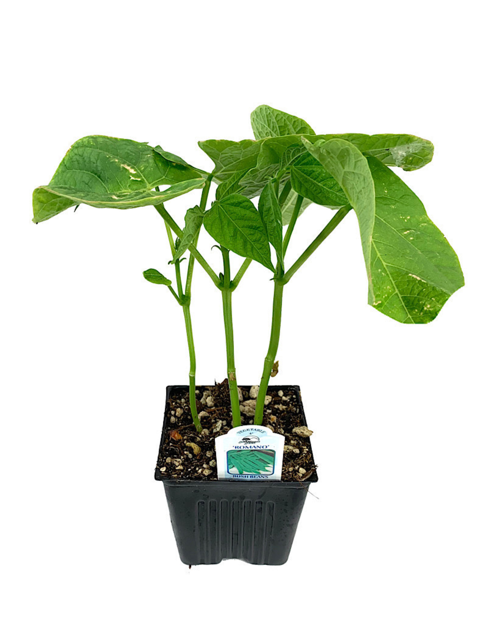 Bean 'Romano Bush' 4 inch