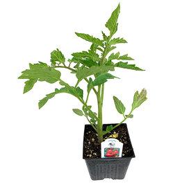 Tomato 'Ace' 4 Inch