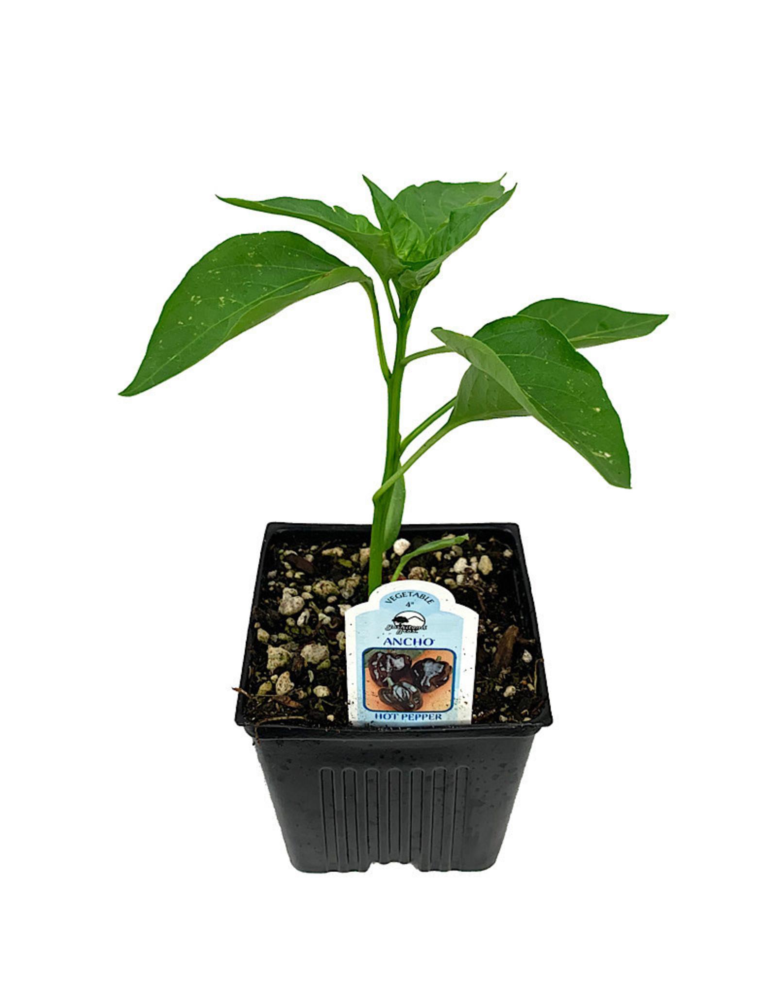 Pepper 'Ancho' 4 Inch