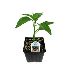 Pepper 'Ancho' 4 Inch