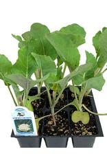 Cauliflower 'Snowcrown' Traypack