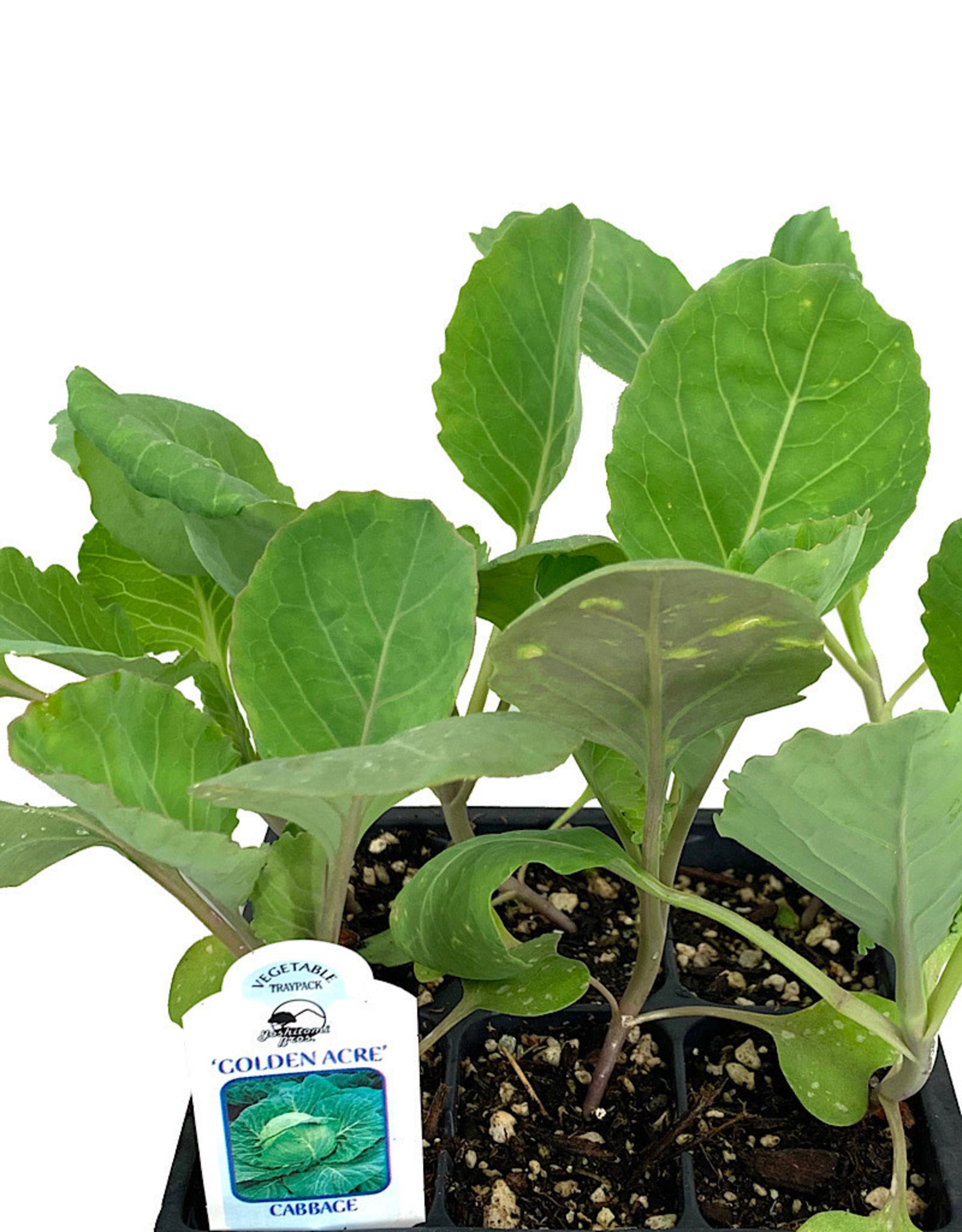 Cabbage 'Golden Acre' Traypack
