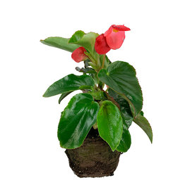 Begonia 'Dragon Wing Red' 4 inch