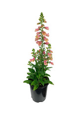 Digitalis 'Arctic Fox Rose' 1 Gallon