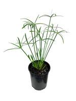 Cyperus alternifolius 1 Gallon