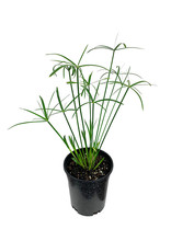 Cyperus alternifolius 1 Gallon