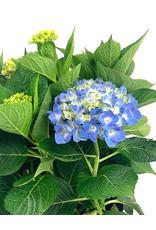 Hydrangea macrophylla 'Berner' 2 Gallon
