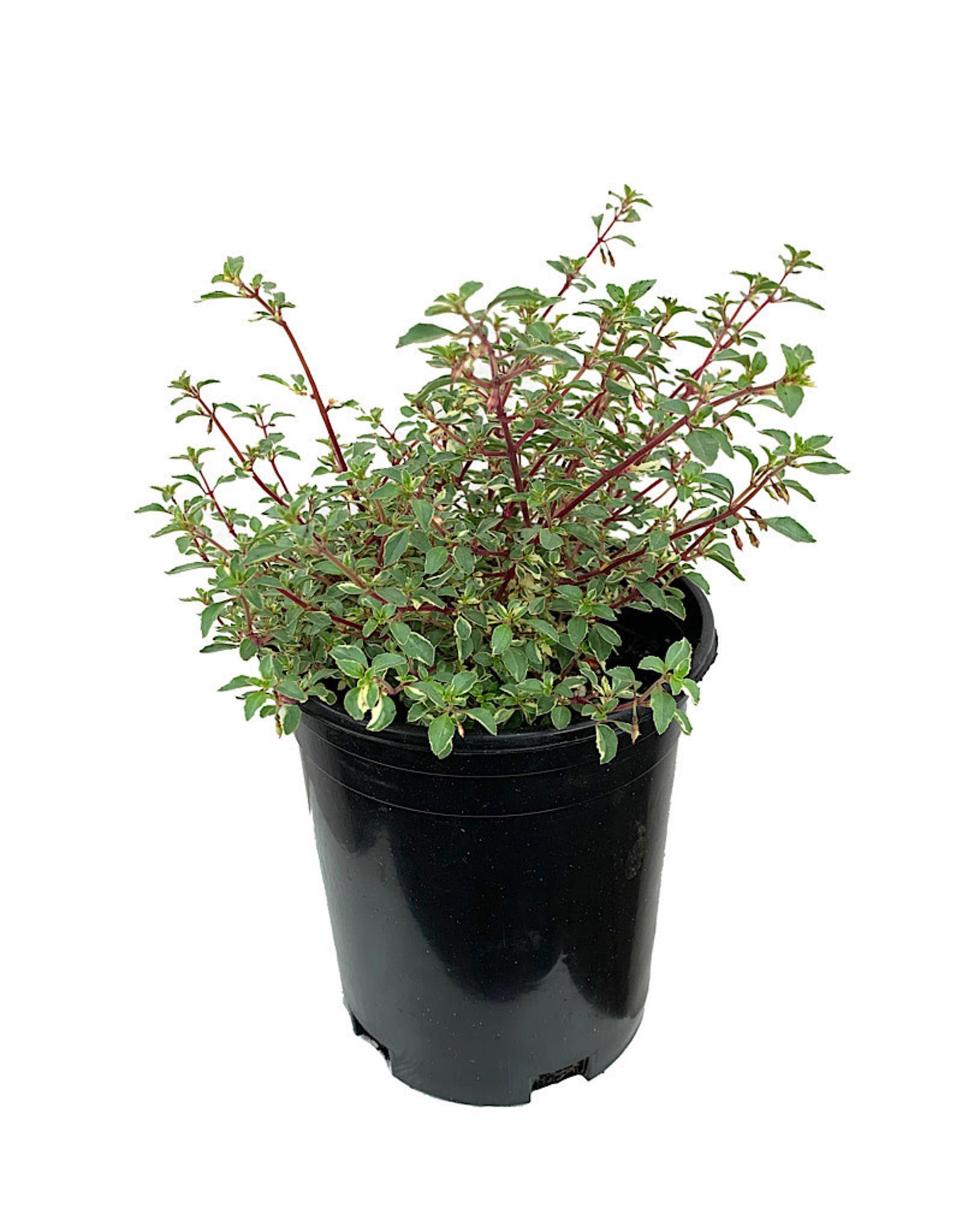 Fuchsia v. 'Lottie Hobby' 1 Gallon