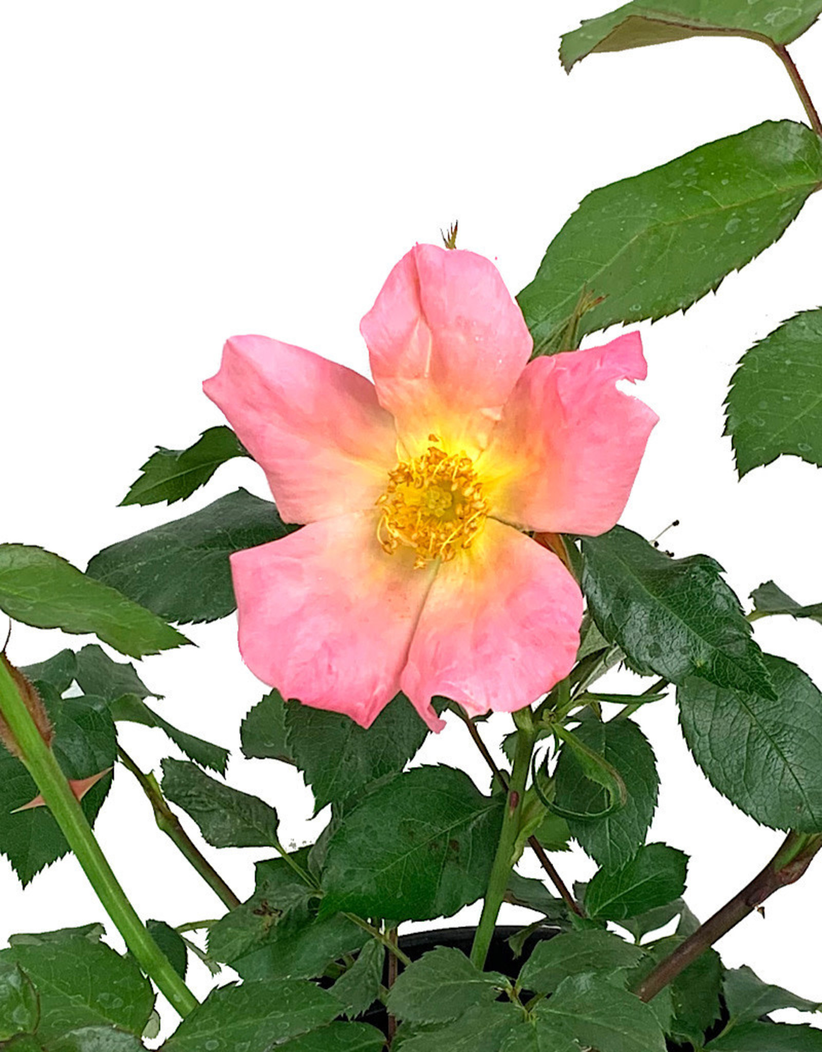 Rosa 'Morning Colors' 1 Gallon