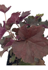 Heuchera 'Palace Purple Select' 4 Inch