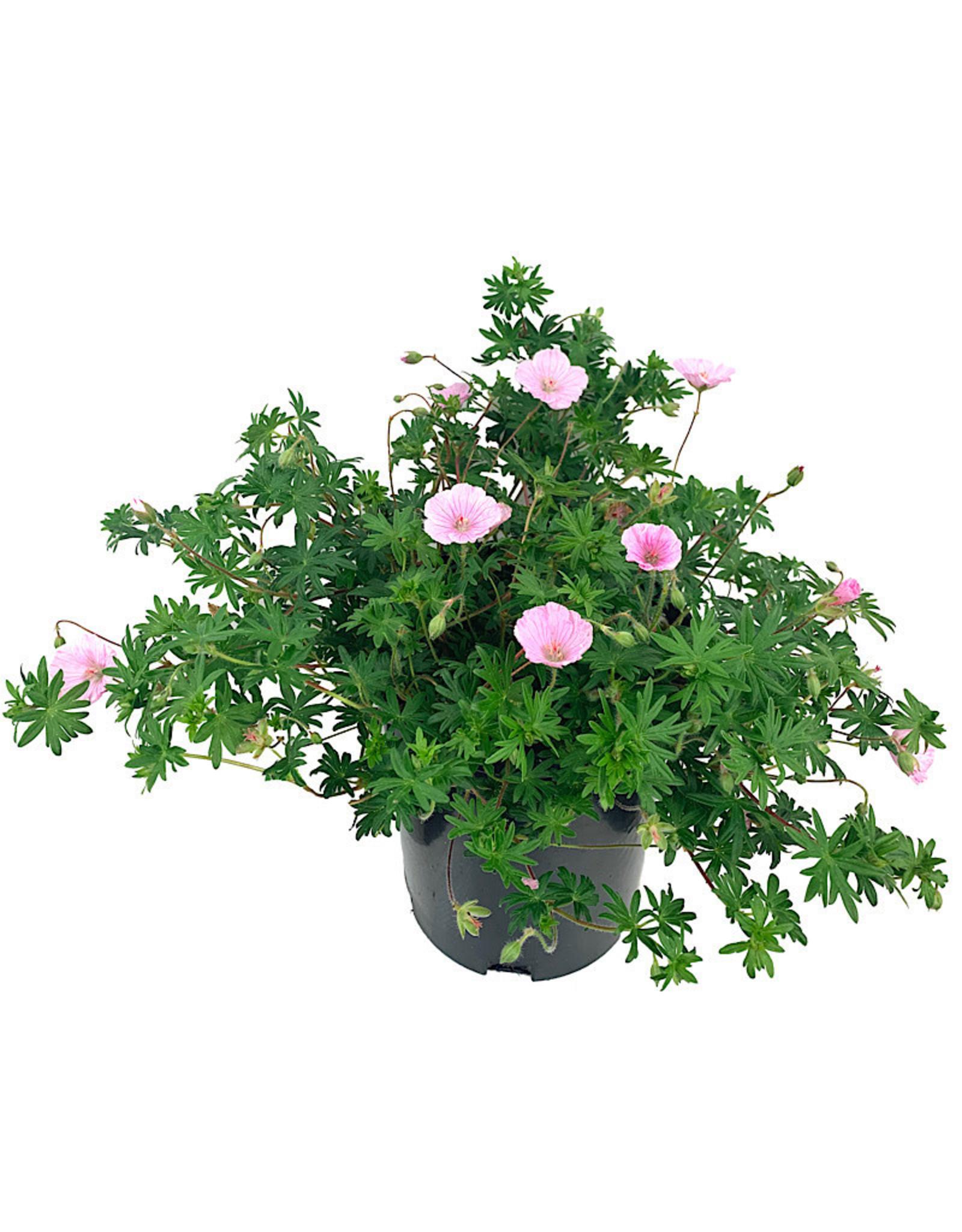 Geranium 'Apfelblute' 1 Gallon