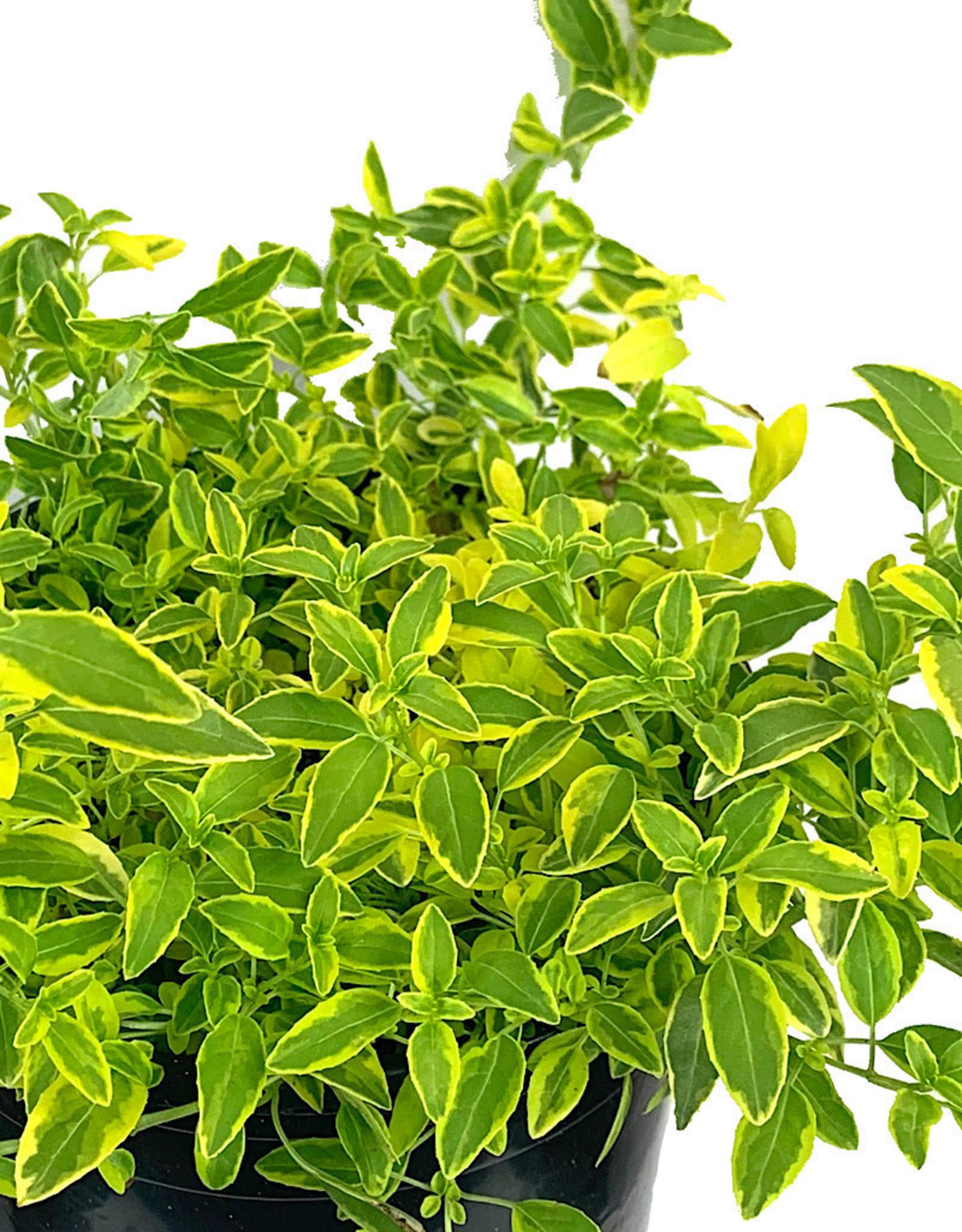 Fuchsia magellanica 'Sharpitor Aurea' 1 Gallon