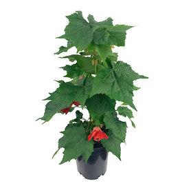 Abutilon 'Strybing Red' 1 Gallon