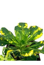 Saxifraga x umbrium 'Aurea-punctata' Quart