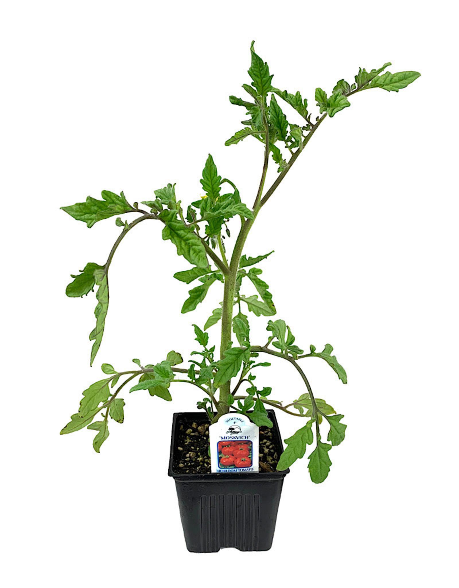 Tomato 'Moskvich' 4 Inch