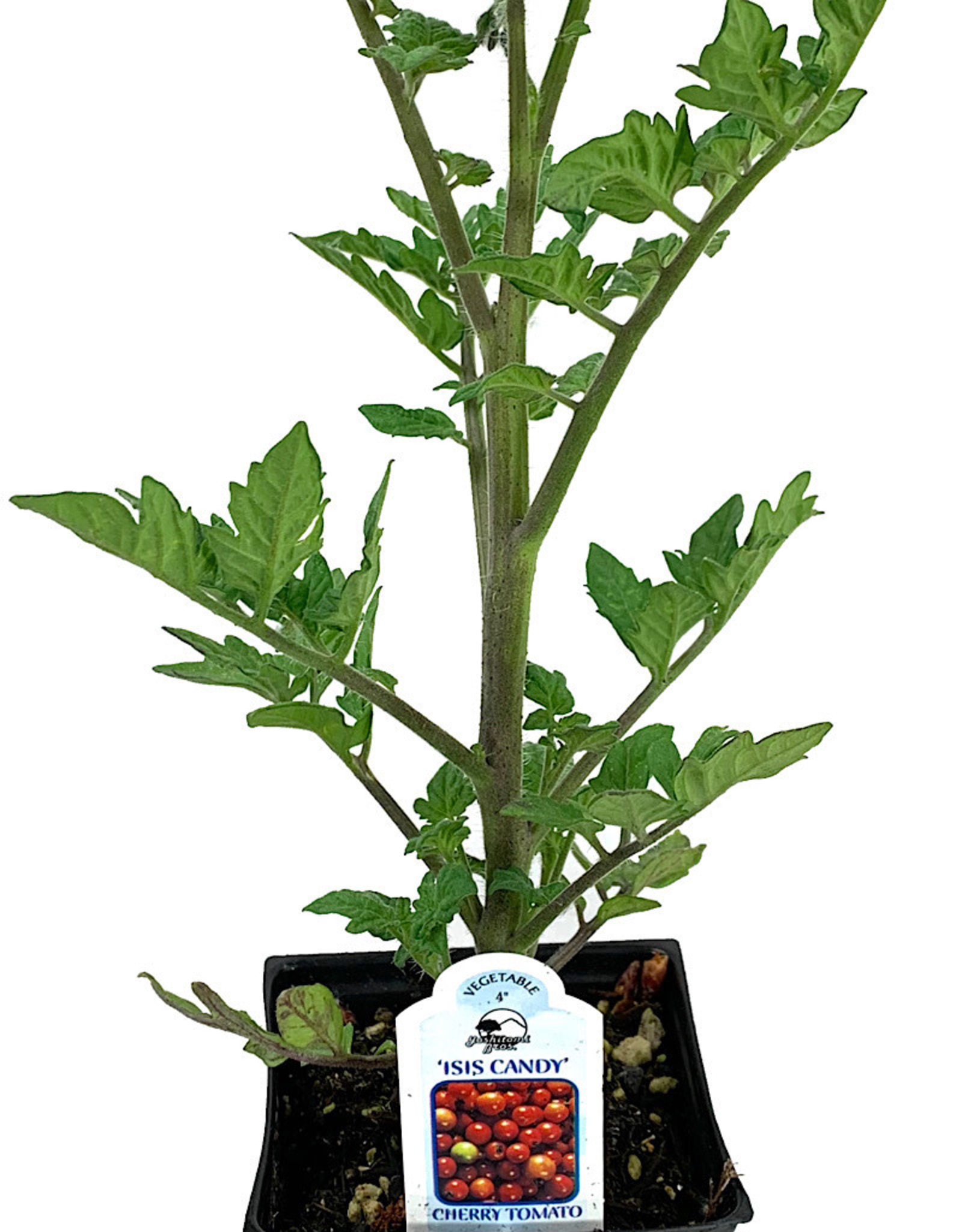 Tomato 'Isis Candy' 4 Inch