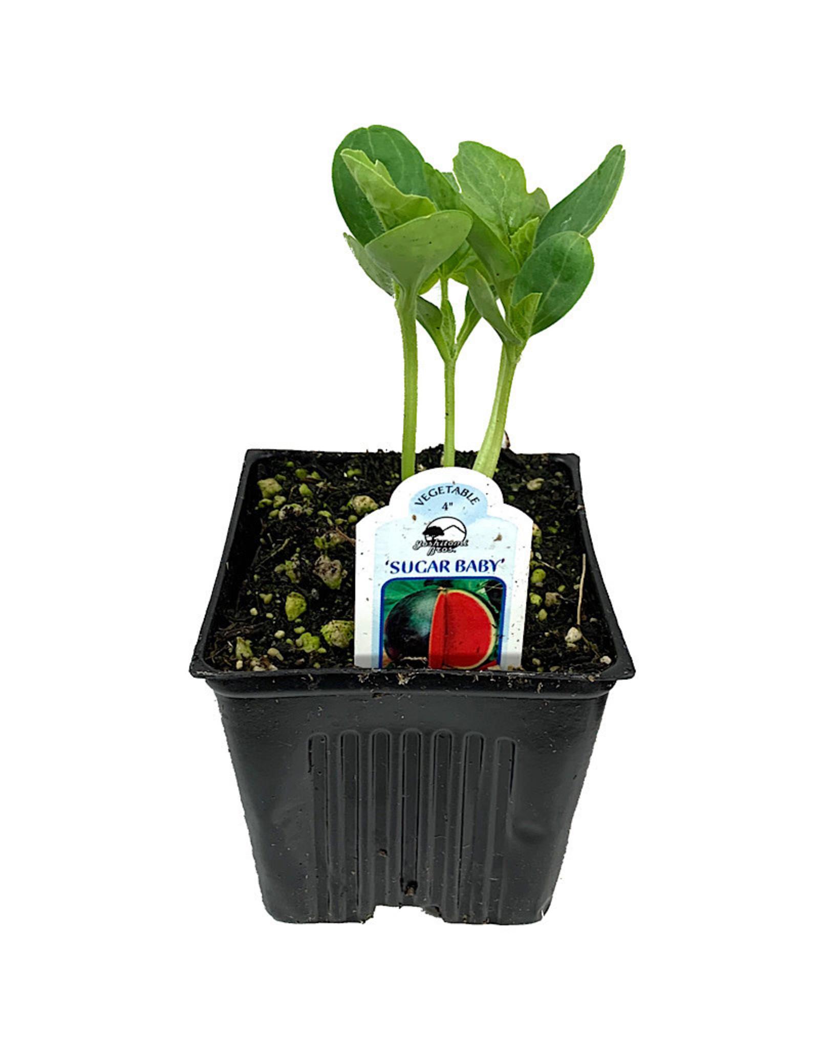 Watermelon 'Sugar Baby' - 4 inch