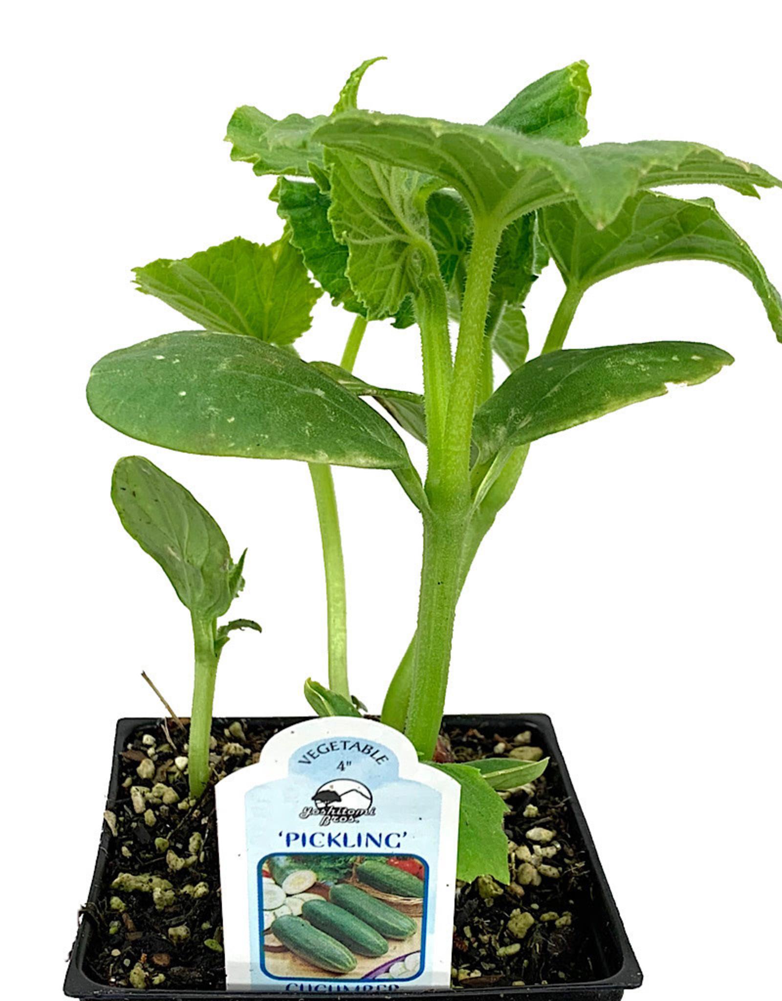 Cucumber 'Pickling' 4 Inch