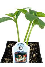 Cucumber 'Slicing' 4 Inch