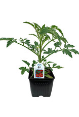 Tomato 'Red Pear' - 4 inch