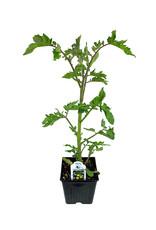 Tomato 'Green Zebra' - 4 inch