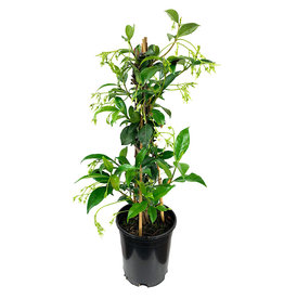 Trachelospermum jasminoides 1 Gallon