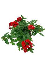 Verbena 'Endurascape Red' - 4 inch