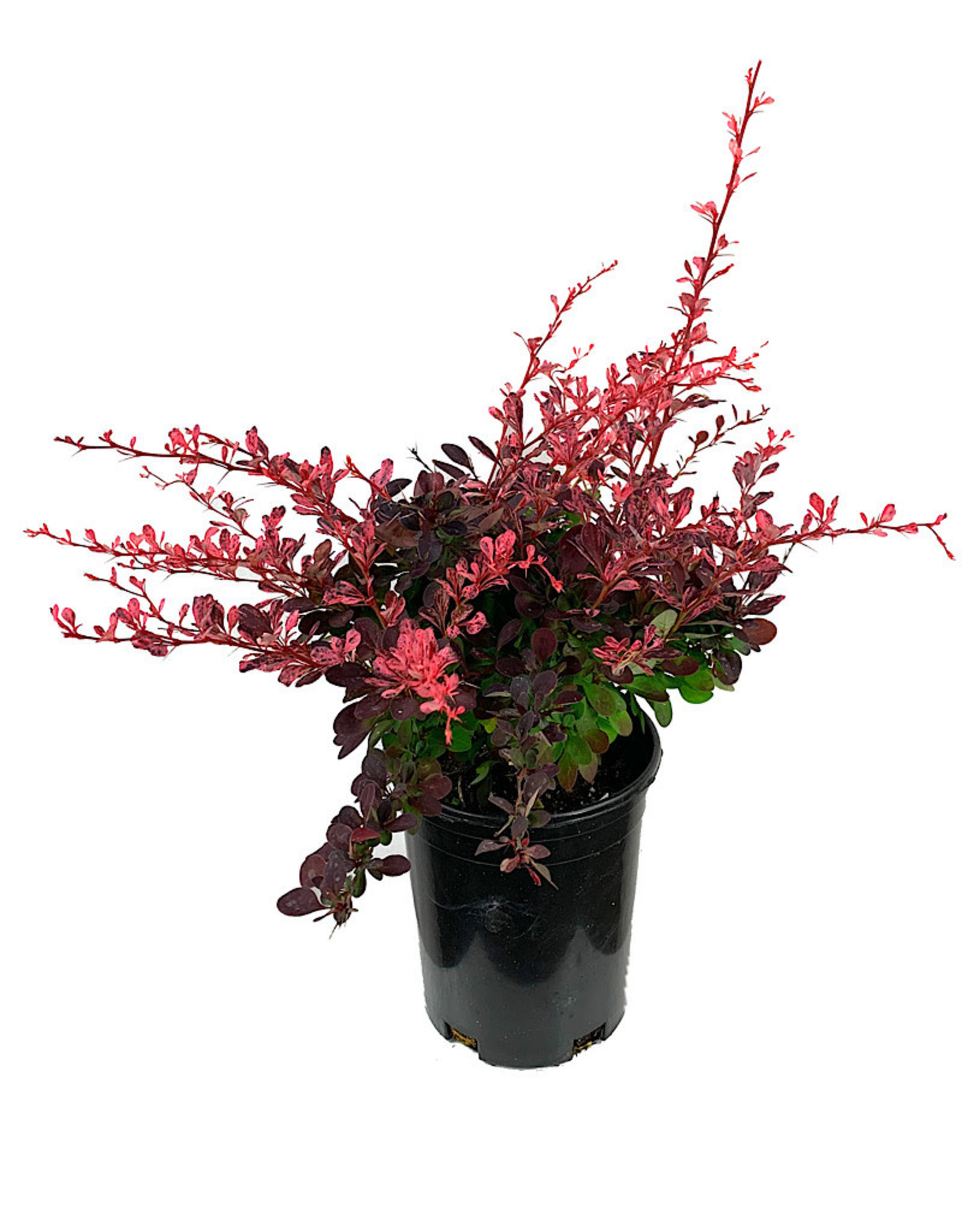 Berberis thunbergii 'Rose Glow' 1 Gallon