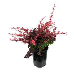 Berberis thunbergii 'Rose Glow' 1 Gallon