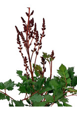 Astilbe chinensis 'Visions in Red' 1 Gallon