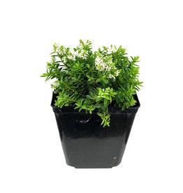 Hebe buxifolia 1 Gallon