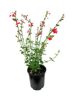 Salvia 'Hot Lips' Quart