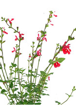Salvia 'Hot Lips'- Quart