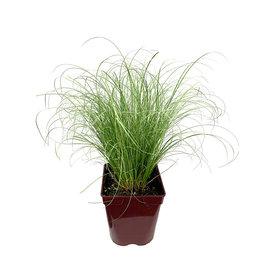 Carex comans 'Frosty Curls' Quart
