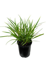 Carex oshimensis 'EverColor Everglow' Quart