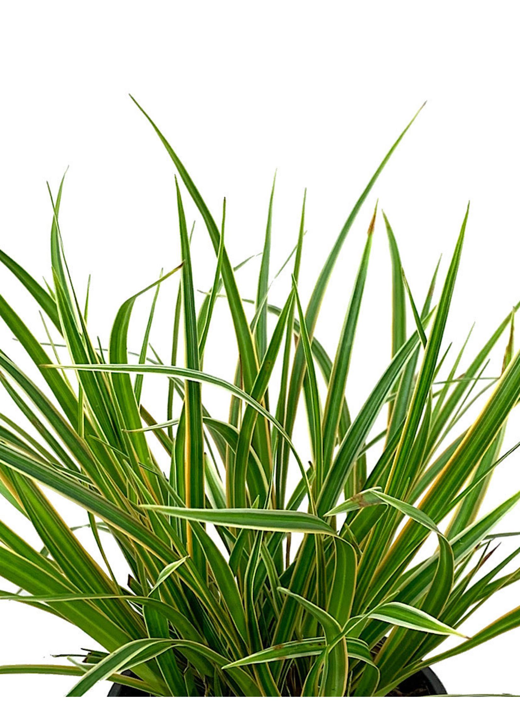 Carex oshimensis 'EverColor Everglow' Quart